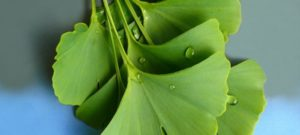 Ginkgo Biloba and its effect on the skin